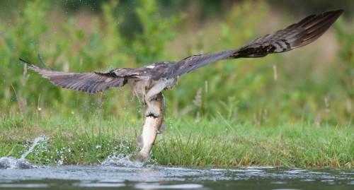 Osprey Fish Size